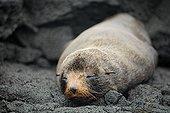 Galapagos Fur Seal (Arctocephalus galapagoensis) on rock, Santiago Island, San Salvador, James Island, Puerto Egas, Galapagos Achipelago, UNESCO World Heritage Site, Ecuador, South America