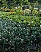 Leeks in a kitchen garden