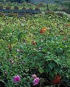 Squashes in a flowered kitchen garden in autumn