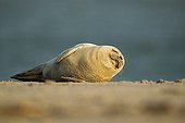 Atlantic Grey Seal (Halichoerus grypus) pup rolling around on the beach at Helgoland Island, North Sea, Lower Saxony, Germany, Europe