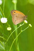 Large Heath butterfly (Coenonympha tullia) perched on a white flower, Illmitz, Burgenland, Austria, Europe