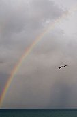 Lone seagull flying under a rainbow formed over the ocean, Novigrad, Istria, Croatia, Europe