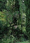 Rose-tree 'Meilland Décor' in bloom in a garden