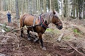 Hauling in forest with a draught horse Comtois Vosges ; Extraction of spruce logs with animal tractionComtois draft horse working on the voice