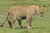 Birth of a Lion cub in Masai Mara NR Kenya ; The lioness got up, the cub remains attached by the umbilical cord