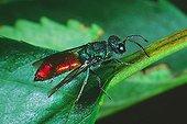 Cuckoo wasp (Chrysis trimaculata) order Hymenoptera