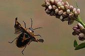 Shield bug (Eurydema dominilus)