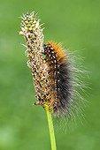 Garden Tiger Moth caterpillar (Arctia caja), Kramsach, Tyrol, Austria, Europe