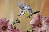 Flying blue tit (Parus caeruleus)