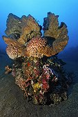 Block of corals, various kinds of sponges, corals, feather stars, mini reef, sandy ground, Bali, Lesser Sunda Islands, Bali Sea, Indonesia, Indian Ocean, Asia