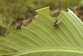 Leaf-cutting Ants or Leafcutters (Atta cephalotes) consuming a leaf, Belize, Central America