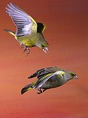 Greenfinches (Carduelis chloris)