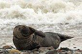 Gray Seal (Halichoerus grypus) on the seashore, Heligoland, Schleswig-Holstein, Germany, Europe