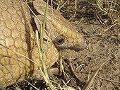 Portrait of a three-banded armadillo (Tolypeutes matacus), Gran Chaco, Paraguay