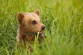 European Brown Bear (Ursus arctos) cub in the grass, Poing Zoo, Munich, Bavaria, Germany, Europe