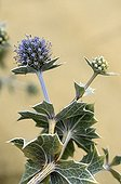 Eryngii maritime flower Atlantic Coast France