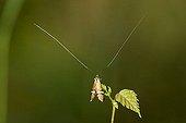 Longhorn Moth Nemophora degeerella Germany