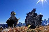 Two alpine choughs (Pyrrhocorax graculus)