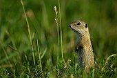 European Ground Squirrel or Souslik (Spermophilus citellus) keeping watch, Illmitz, Burgenland, Austria, Europe