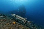 Great Barracuda (Sphyraena barracuda) in front of wreck of the Liberty, Tulamben, Bali, Indonesia, Indian Ocean, Asia