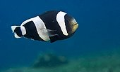 Saddleback Clownfish (Amphiprion polymnus), Indonesia