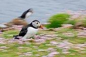Running Puffin (Fratercula arctica), Fair Isle, Shetland, Scotland, United Kingdom, Europe