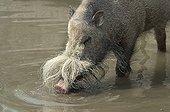 Bearded Pig (Sus barbatus), found in Malaysia, Sumatra and Borneo, Hellabrunn Zoo, Munich, Bavaria, Germany
