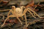 Green Huntsman Spider (Micrommata virescens), still pale brown juvenile
