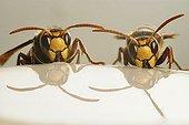 European Hornets drinking ; European Hornets (Vespa crabro), drinking