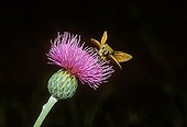 Small Skipper Thymelicus sylvestris at Thistle Cirsium Germany