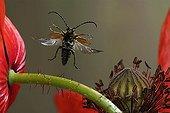 Flying longhorn (Leptura livida) over a poppy blossom