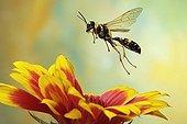 (Mellinus arvensis), wasp, Saxony-Anhalt, Germany