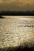 Evening mood, sea birds near the water's edge, Warmsee (Warm Lake), Illmitz, Burgenland, Austria, Europe