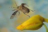 Stink bug (Rhaphigaster nebulosa)