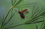 Spotted asparagus beetle (Crioceris duodecimpunctata)