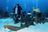 Scuba divers amongst a school of Nurse Sharks (Ginglymostoma cirratum) lying on the sandy ocean after having been attracted by a container of scent agents and bait, barrier reef, San Pedro, Ambergris Cay Island, Belize, Central America, Caribbean