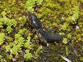 Mole Cricket on ground in summer Franche-Comté France