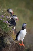 Puffins (Fratercula arctica), Látrabjarg bird cliff, West Fjords, Iceland, Europe