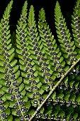 Male fern's spores
