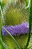 Fuller's teasel in bloom