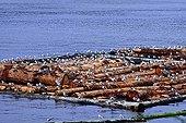 Seagulls on floating logs in Alaska