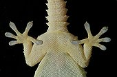 Crocodile Gecko bottom view on blackbackground
