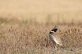 Little bustard male courtship in Spain