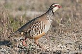 Red-legged Partridge walking in cereal steppe Spain