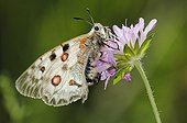 Apollo butterfly on flower Pyrenees Spain ; This species in southern Europe has become relict to mountain areas having become isolated after last glacial period.