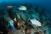 Bluefin Trevally hunting above the reef Maldives