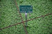 Net on pond water-starwort  Jardin des Plantes Paris ;