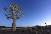 Quiver tree at night in the Namib desert in Namibia