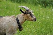 Domestic Goat (Capra aegagrus hircus), Schladminger Tauern, Styria, Austria, Europe