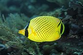 Latticed Butterflyfish, (Chaetodon rafflesii), swims along the reef, fish, Tulamben, Bali, Indonesia, Indian Ocean, Bali Sea.